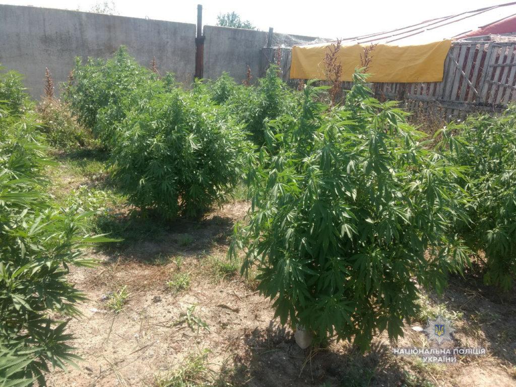 Сорта и фото конопли марихуана купить листья